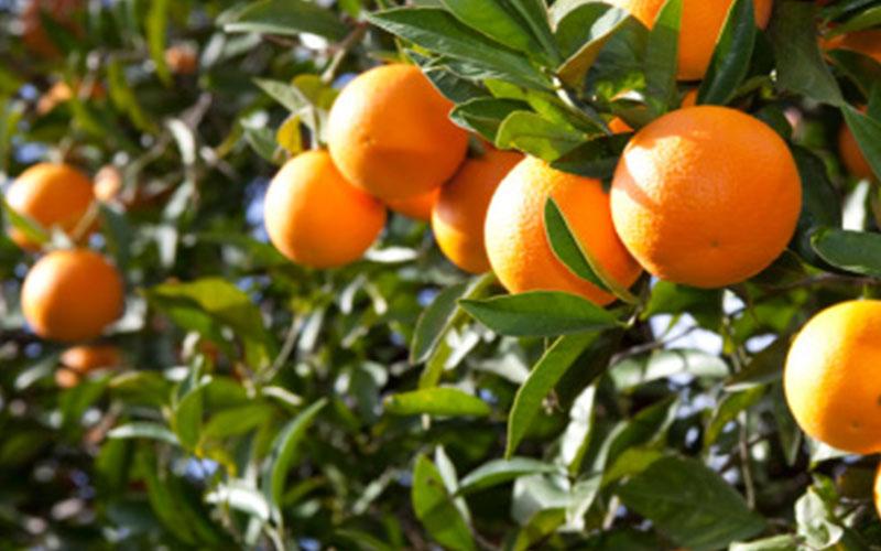 Tangelo fruit tree is strawberry a fruit for Fruit trees for sale
