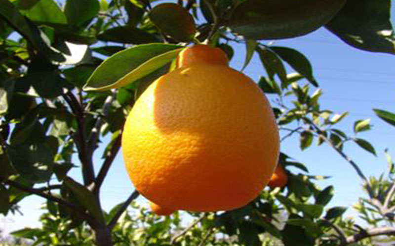 Citrus tangelo trees for sale for Fruit trees for sale