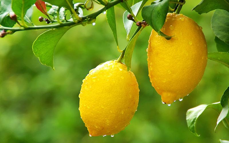 Citrus lemon trees for sale for Fruit trees for sale