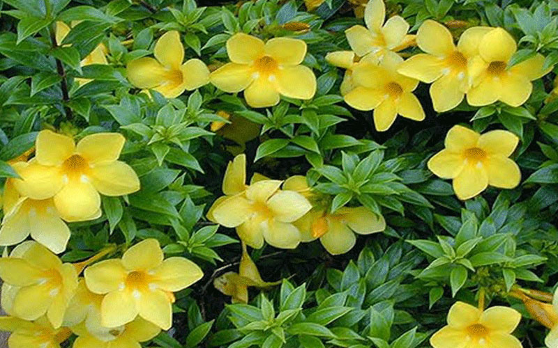 Dwarf Allamanda For Sale Naples