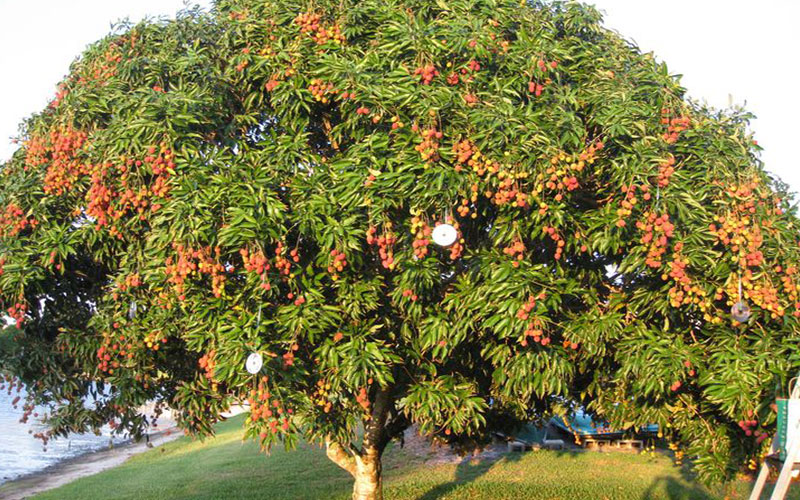 tropical fruit trees lychee, Natural flower