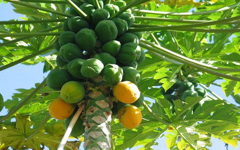 TROPICAL FRUIT TREES PAPAYA