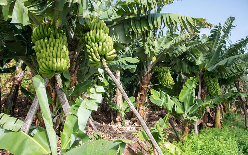 Tropical Fruit Trees Banana