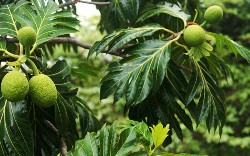 palm tree fruit bread fruit