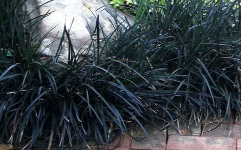 Ornamental Grasses Florida Mondo ornamental grass for sale naples often called monkey grass mondo is cold hardy great anywhere in south florida its the slowest growing of these grass like plants and takes sun or workwithnaturefo