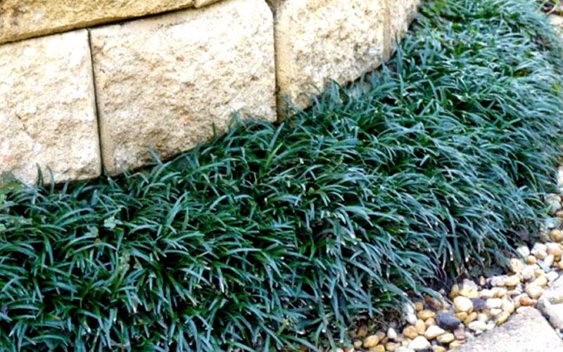 Pictures Of Ornamental Grass Mondo ornamental grass for sale naples garden center naples workwithnaturefo