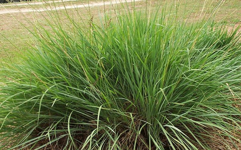 Ornamental grasses naples for Different ornamental grasses