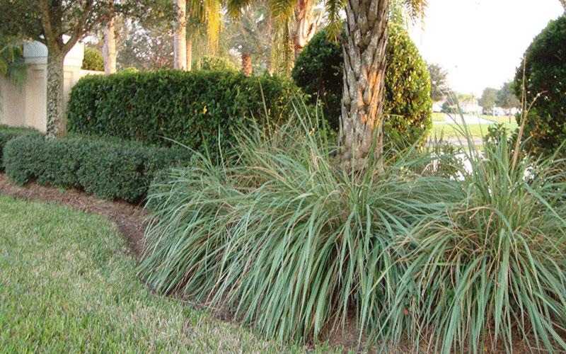 Fakahatchee Ornamental Grass For Sale Naples