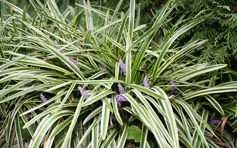 green liriope ornamental grass for sale naples