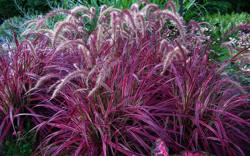 Red fountain ornamental grass for sale naples for Red perennial grass