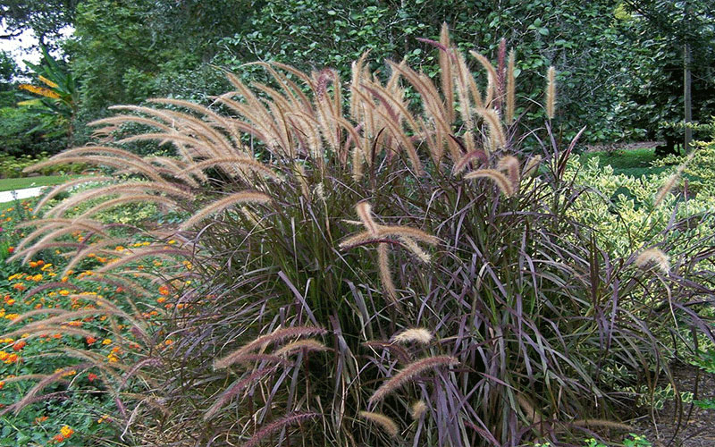 Red fountain ornamental grass for sale naples for Red landscaping grass