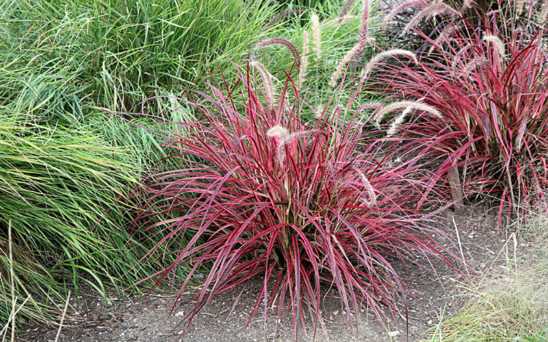 Red fountain ornamental grass for sale naples for Ornamental grass with pink flowers