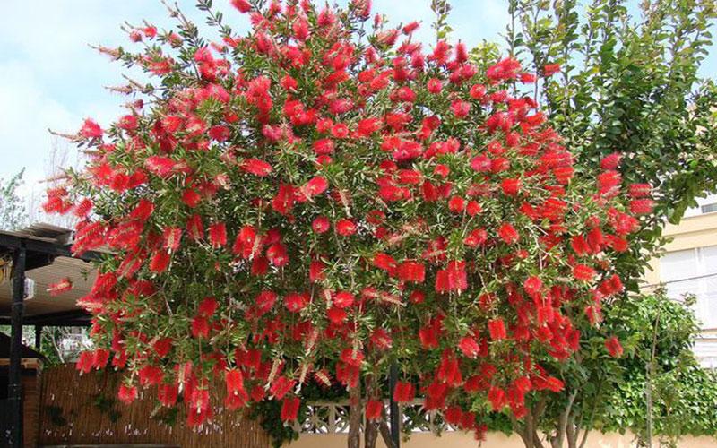 Bottlebrush tree for sale naples for Small garden trees for sale