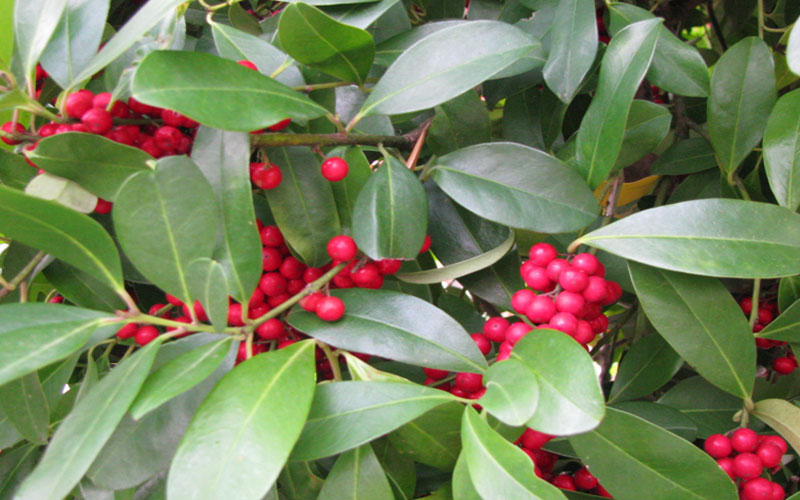 Dahoon Holly Tree For Sale Naples