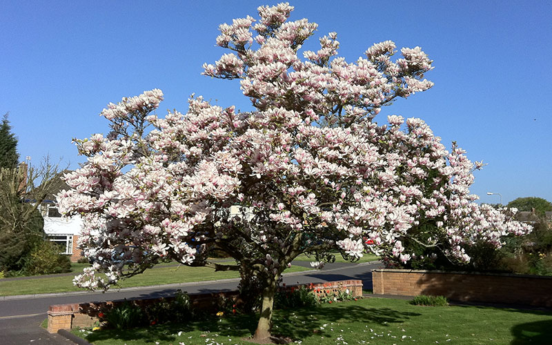 Magnolia Tree For Sale Naples