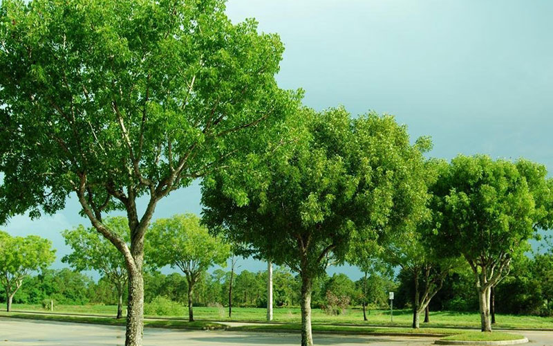 Mahogany tree for sale naples for Trees for sale
