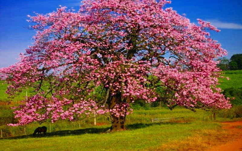 SILK FLOSS TREE FOR SALE NAPLES