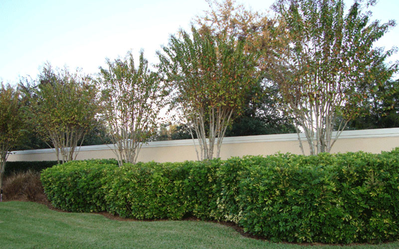 Landscape shrubs naples for Green bushes for landscaping