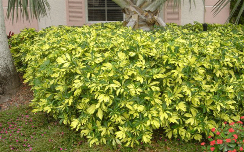 Arboricola trinette shrub for sale naples for Myers lawn and garden