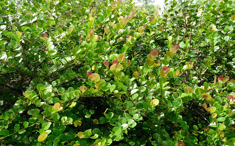 Red Tipped Cocoplum Shrub For Sale Naples
