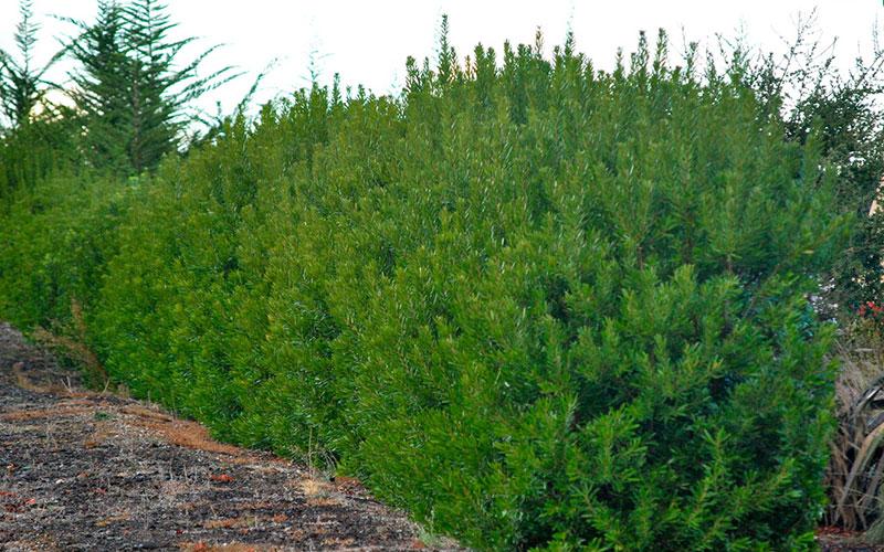 Wax myrtle shrub for sale naples for Wax landscape
