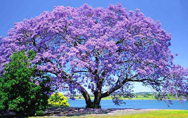 Jacaranda Tree For Sale Naples