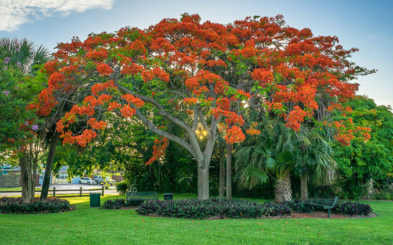 Royal Poinciana Tree For Naples